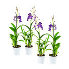 Dendr-Sa-nook-Bl-Happiness-1T-(4-Stuks)(Dendrobium-Sa-Nook-Blue-Happiness)