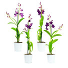 Dendr-Sa-nook-P-Happiness-1TVt-(4-stuks)(Dendrobium-Sa-Nook-Purple-Happiness)
