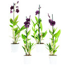 Dendr-Sa-nook-Thailand-Black-1T-(4-stuks)(Dendrobium-Sa-Nook-Thailand-Black)