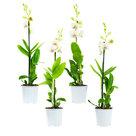 Dendr-Sa-nook-Snow-Jade-1T-(4-stuks)(Dendrobium-Sa-Nook-Snow-Jade)