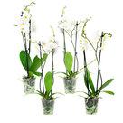 Phal-Springtime-2T12+-(4-stuks)(Phalaenopsis-Springtime)