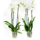 Phalaenopsis-Wit(PH3803G02B)