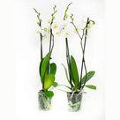 Phalaenopsis-Springtime(PHSU02G02A)