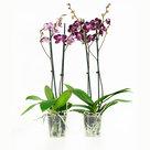 Phalaenopsis-Chien-Xen-Pearl(PHCF02G02A)