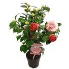 Camellia-'Bonomiana'(SKCAME15BONOP)