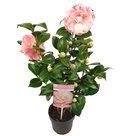 Camellia-'Nuccio's-Cameo'(SKCAME15NUCAP)