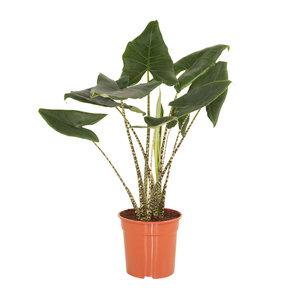 Alocasia Zebrina(Alocasia Zebrina)